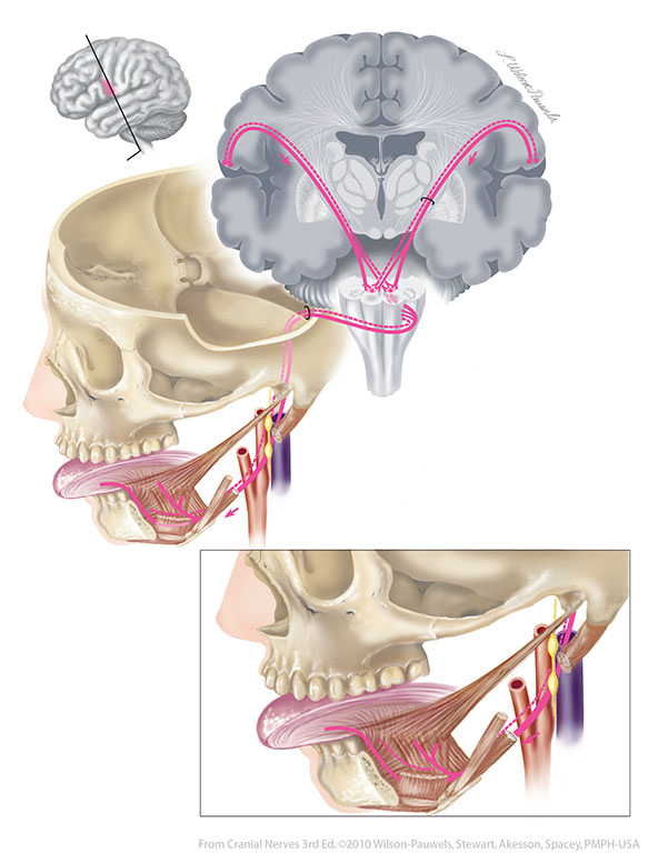 Cranial Nerves 3rd Edition: Hypoglossal XII